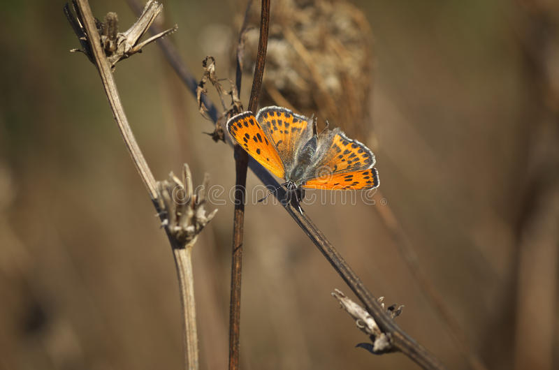 Butterfly Lycaena alciphron - close up royalty free stock photos
