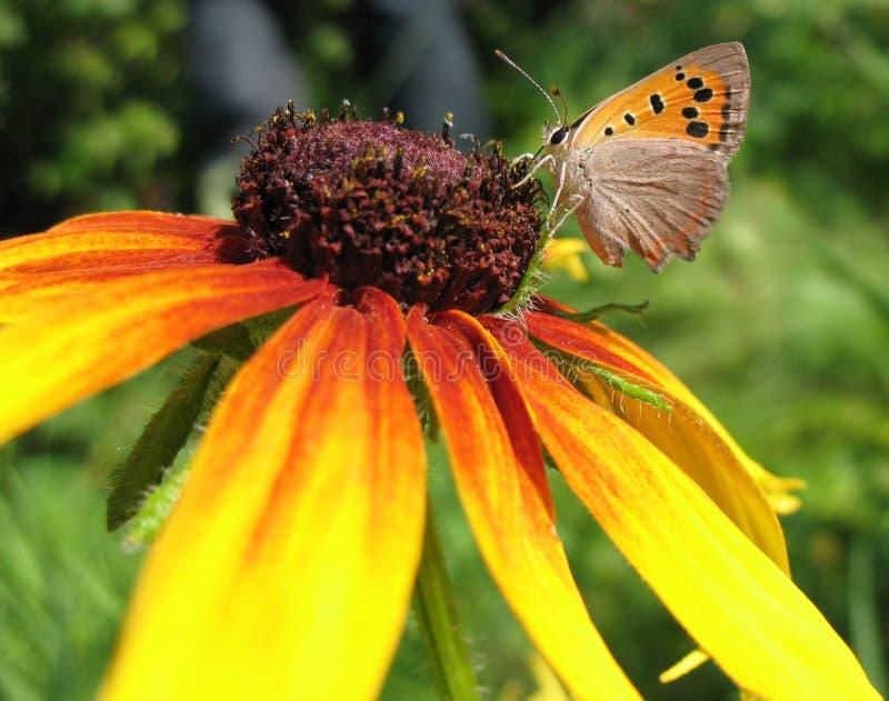 Butterfly Lycaena (Heodes) Virgaureae On Flower Ru Royalty Free Stock Photos