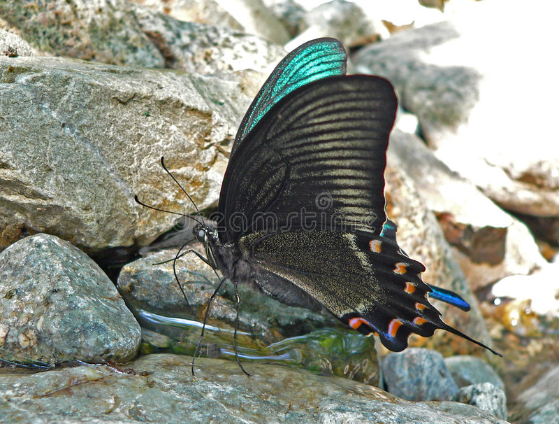 Butterfly Maack's swallowtail royalty free stock images