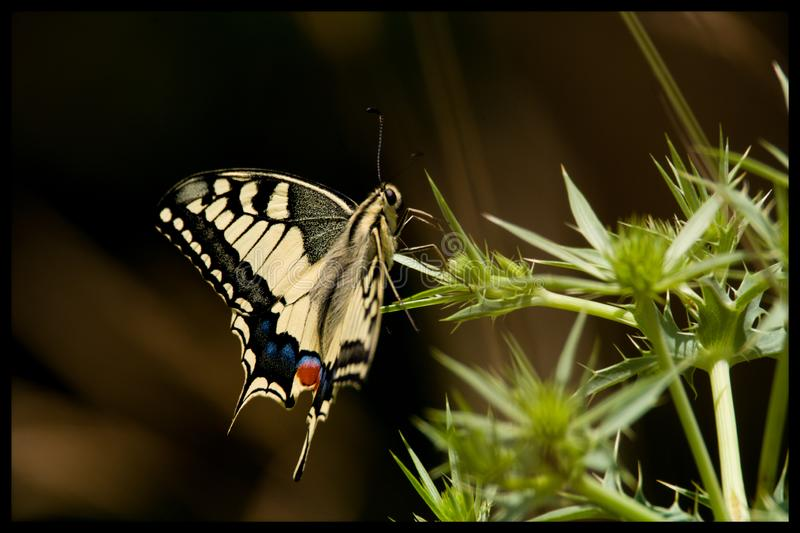 Butterfly machaon. Macro proxy nature royalty free stock images