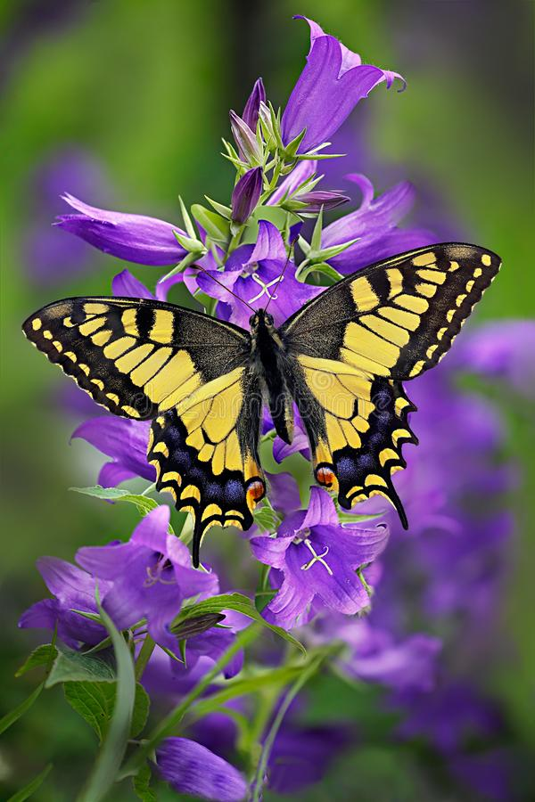 Butterfly Machaon or yellow swallowtail on a cluster of bellflower. Butterfly Papilio machaon or yellow swallowtail, Papilionidae family, on a cluster of royalty free stock photo