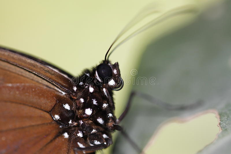 Butterfly macro. Closeup of a butterfly taken in Malaysia royalty free stock photography