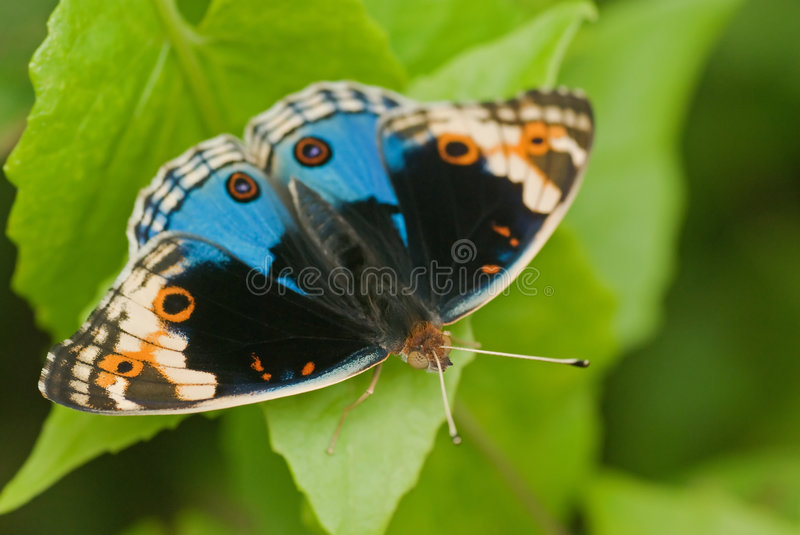 Butterfly macro. Macro/close-up shot of an orange, blue, black and white butterfly on a green leaf stock photography