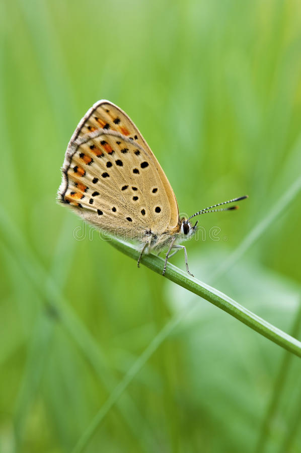 Download Butterfly Macro On A Blade O Grass Stock Image - Image: 24373611