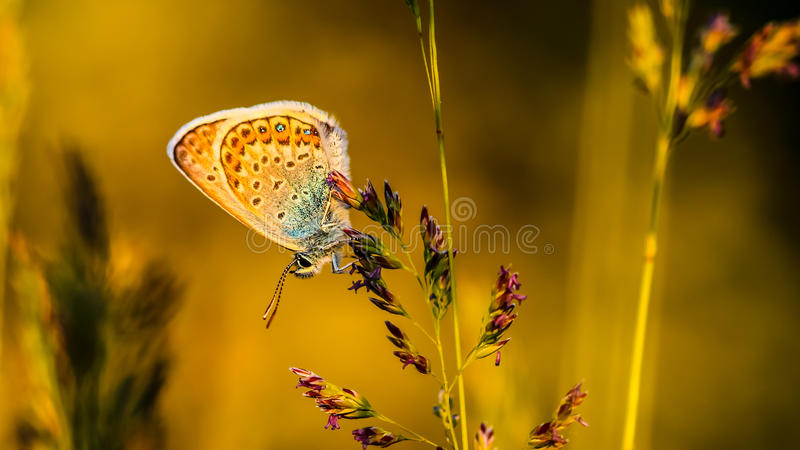 Butterfly poleommatus icarus. Macro photoghaphy of a butterfly royalty free stock image