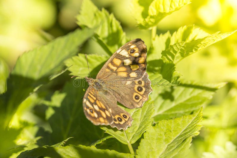 Butterfly. Macro picture of a butterfly posed on a leaf stock photography
