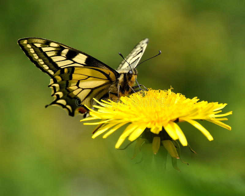 Butterfly Mahaon. Papilio machaon 1. Butterfly Mahaon. Papilio machaon on a dandelion stock images