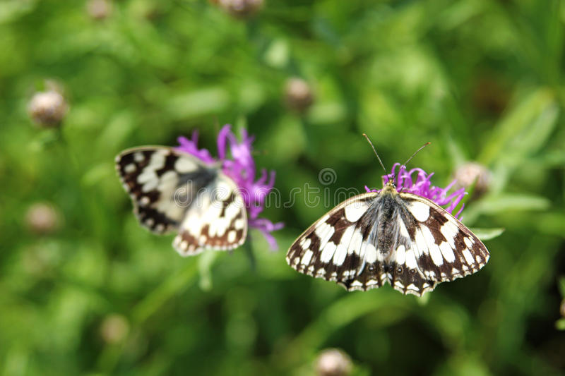 Butterfly marbled white on purple wildflower royalty free stock photos