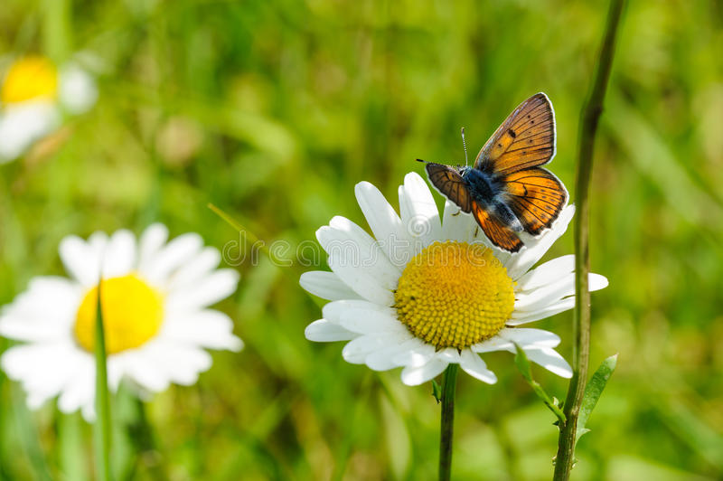 Butterfly with marguerites. With green background stock photo