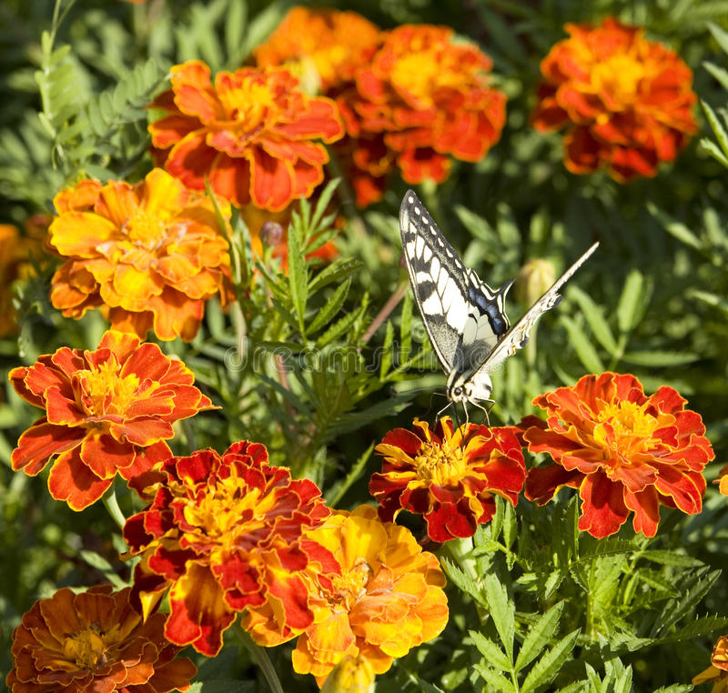 Butterfly on marigold royalty free stock photos
