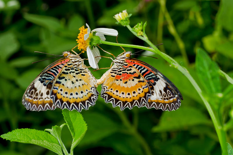 Butterfly mating royalty free stock photography
