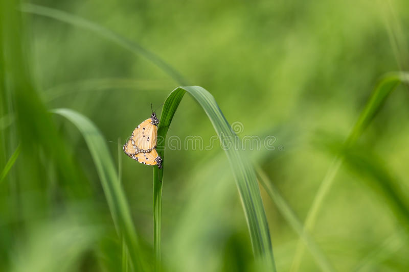 Butterfly Mating (SHARP) stock image