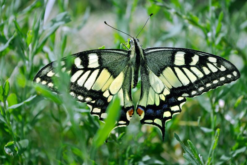 Butterfly on the meadow. Bright beautiful butterflies. Swallowtail butterfly, Papilio machaon stock photography