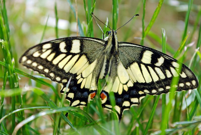 Butterfly on the meadow. Bright beautiful butterflies. Swallowtail butterfly, Papilio machaon stock photo
