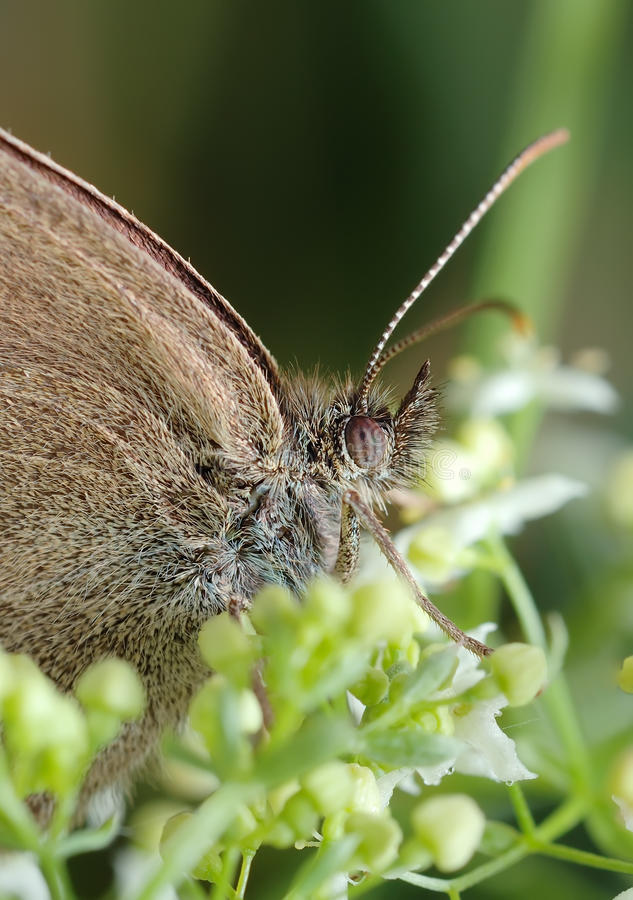 Download Butterfly Meadow Brown On The Flower Stock Image - Image: 12911687