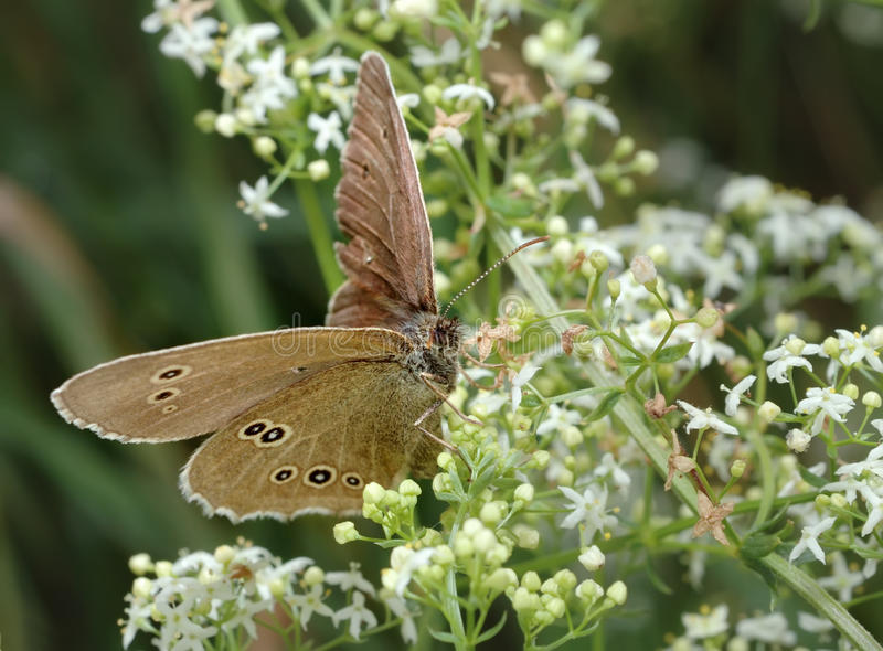 Download Butterfly Meadow Brown On The Flower Stock Image - Image: 12911711