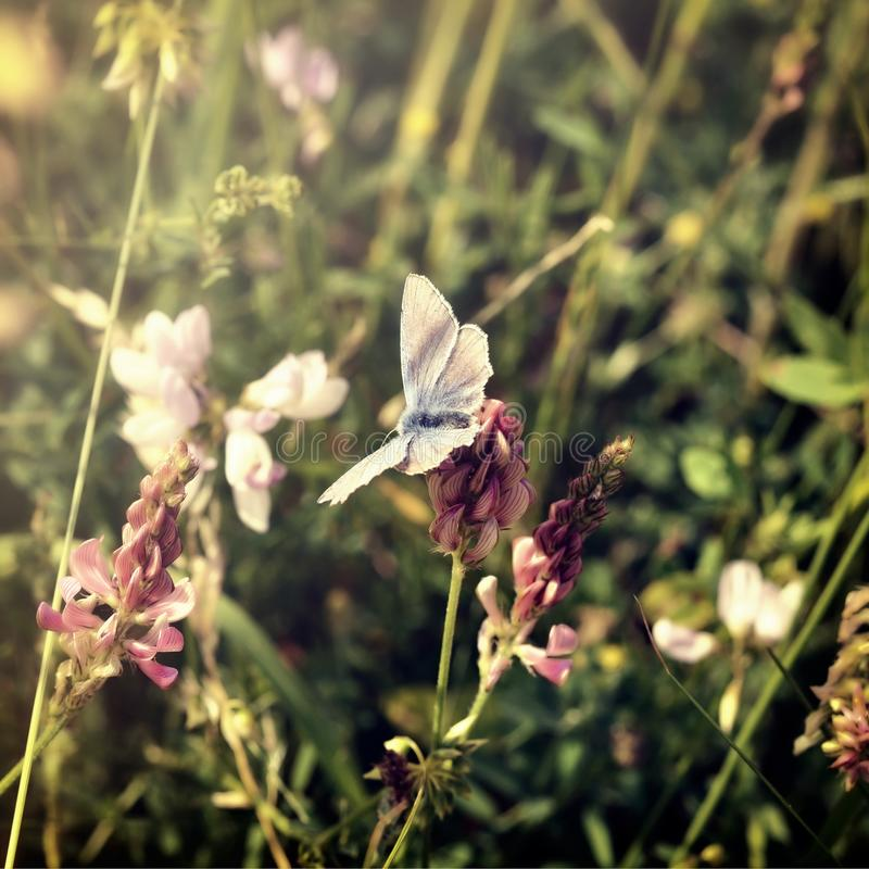 Butterfly on a meadow royalty free stock image