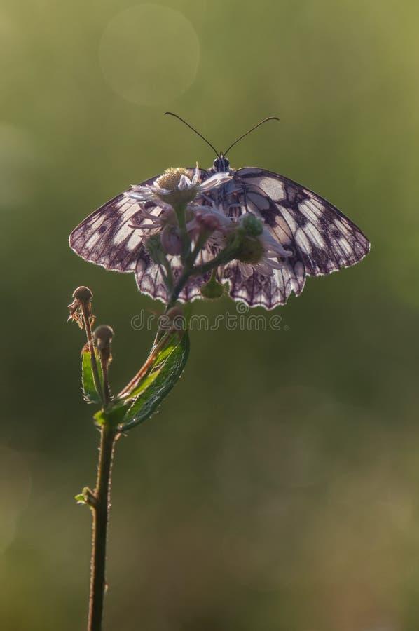 A butterfly Melanargia galathea awaits dawn spreading its wings. A butterfly Melanargia galathea on a pink field flower awaits dawn spreading its wings stock photography