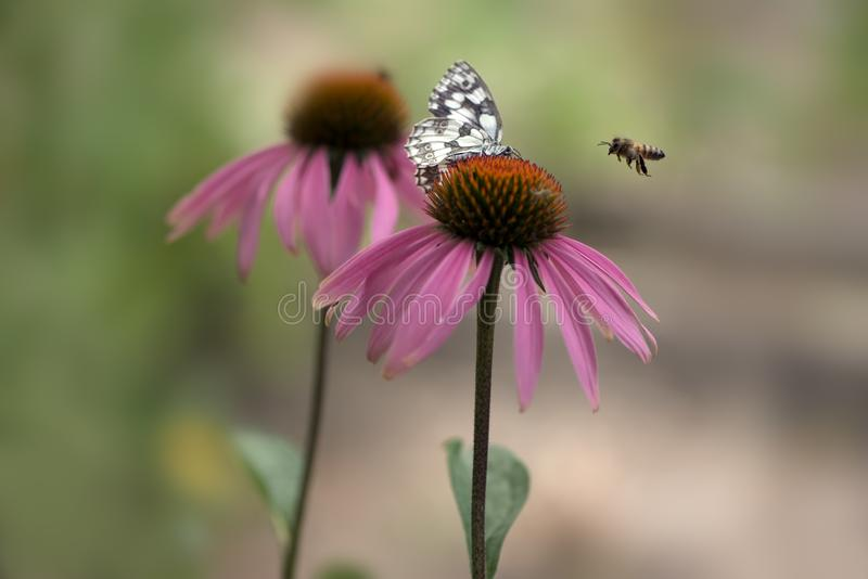 Butterfly Melanargia galathea on a Echinácea purpúrea flower. Gathering nectar on a sunny summer day, spreading its wings. Echinácea purpúrea royalty free stock image