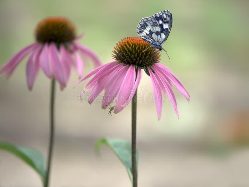 Butterfly Melanargia galathea on a Echinácea purpúrea flower. Gathering nectar on a sunny summer day, spreading its wings. Echinácea purpúrea stock image