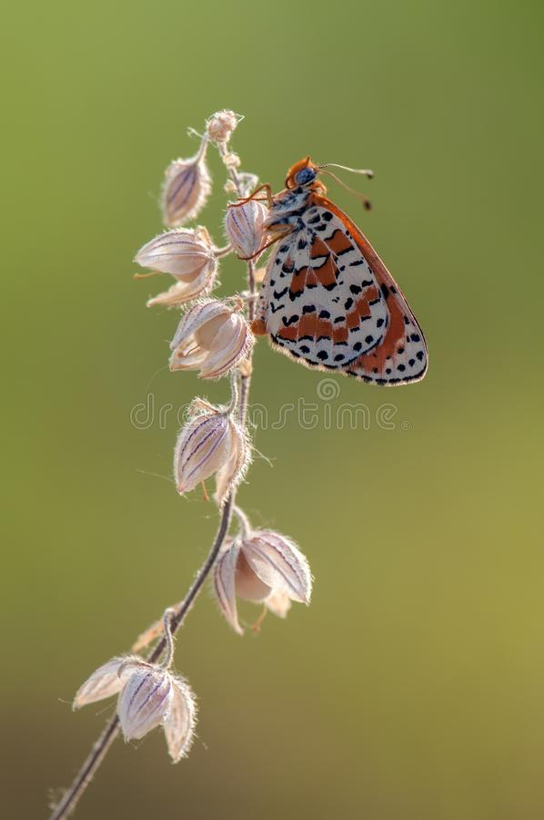 Butterfly Melita in the autumn awaits dawn in the meadow. On a dry blade of grass stock images