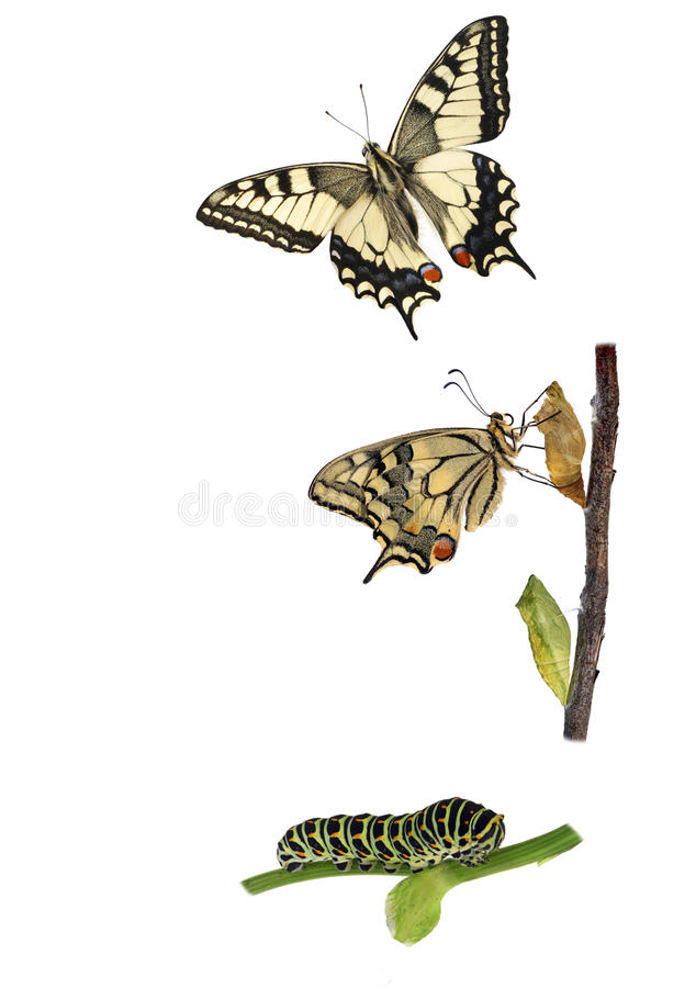 Butterfly Metamorphosis. Metamorphosis of the swallowtail butterfly (Papilio machaon) showing caterpillar, chrysalis and adult royalty free stock images