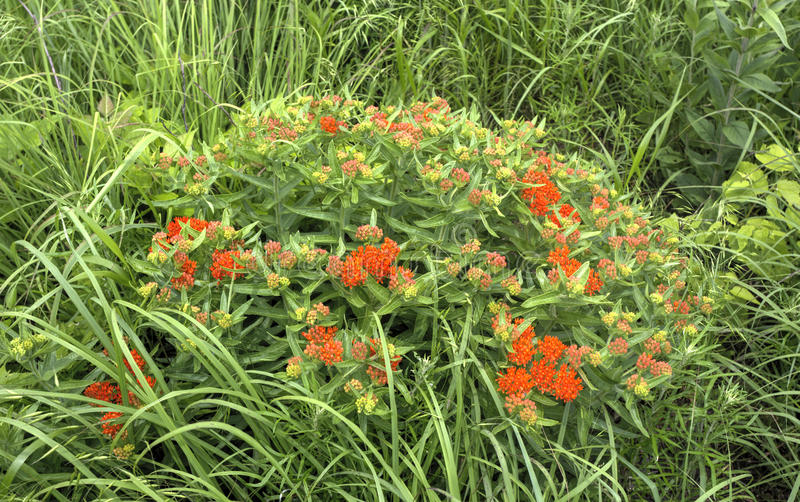 Butterfly milkweed plant with orange blossoms royalty free stock photos