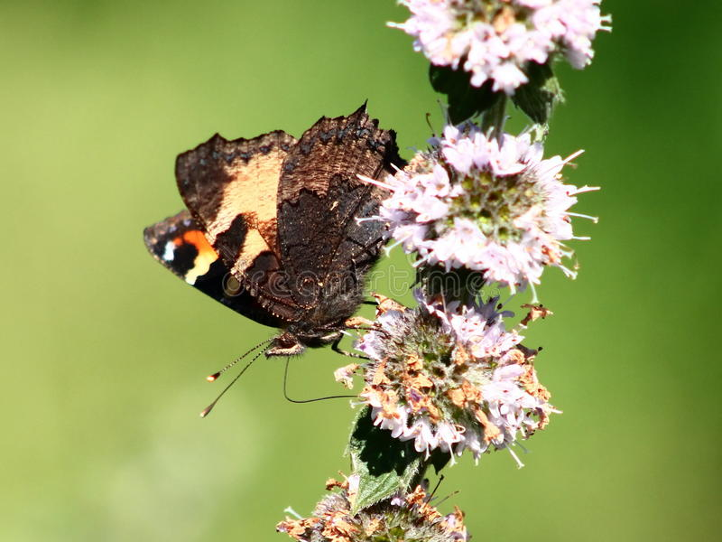 Butterfly on mint flowers stock image