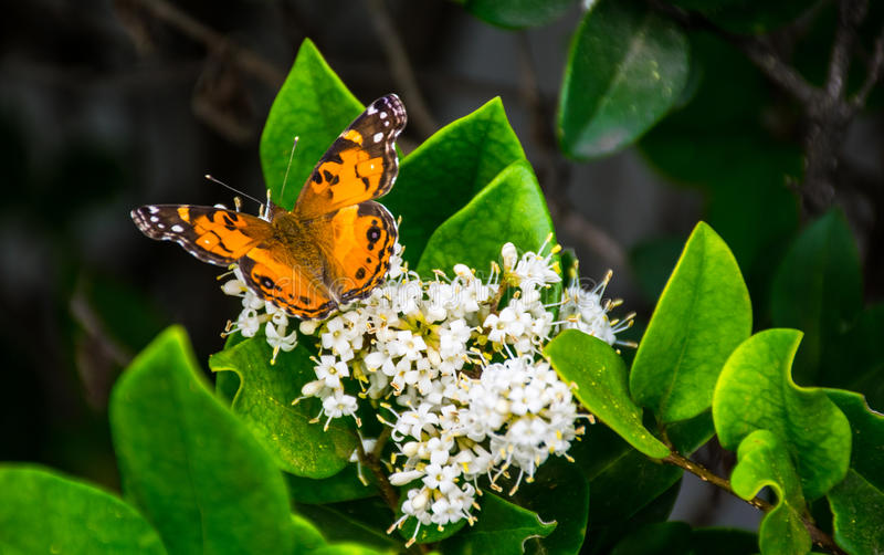 Butterfly Monarch Eating white flowers Texas migration stock image