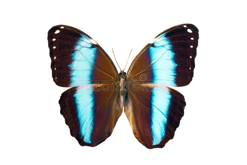 Download Butterfly - Morpho Achilles Amazonicus Stock Photo - Image: 14075424