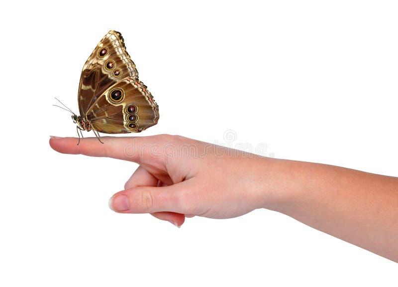 Butterfly Morpho Stock Photo