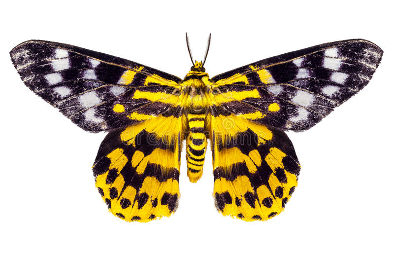 Butterfly moth Dysphania subrepleta isolated stock photography