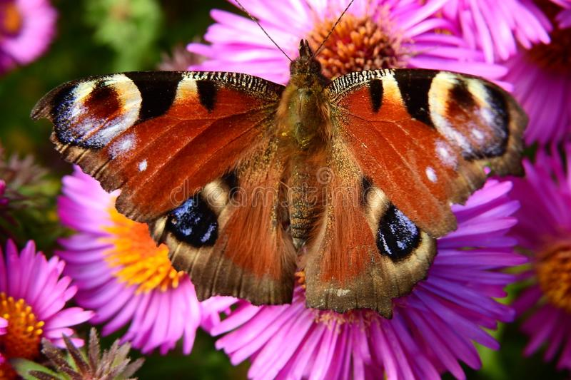 Butterfly, Moths And Butterflies, Flower, Insect stock image