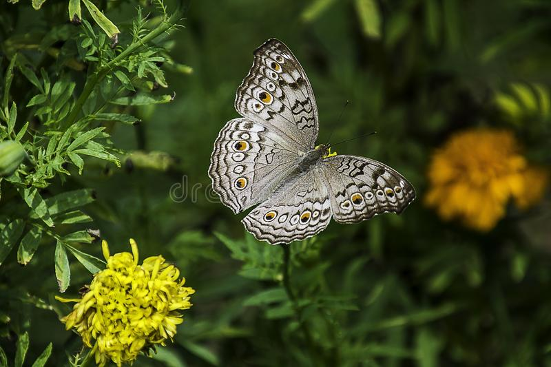 Butterfly, Moths And Butterflies, Insect, Brush Footed Butterfly royalty free stock photography