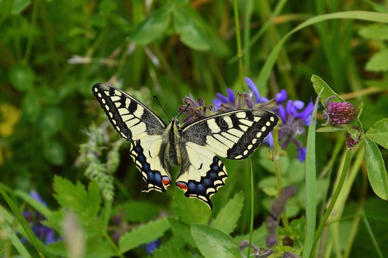 Butterfly, Moths And Butterflies, Insect, Lycaenid stock image