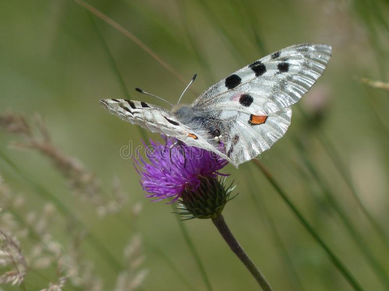 Butterfly, Moths And Butterflies, Insect, Lycaenid stock photo