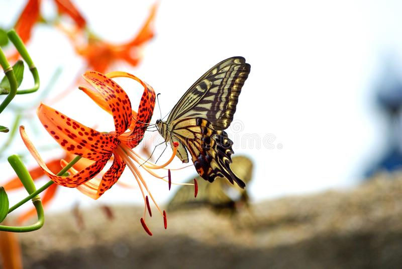 Butterfly, Moths And Butterflies, Insect, Monarch Butterfly stock photo