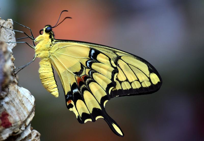 Butterfly, Moths And Butterflies, Insect, Monarch Butterfly royalty free stock photos