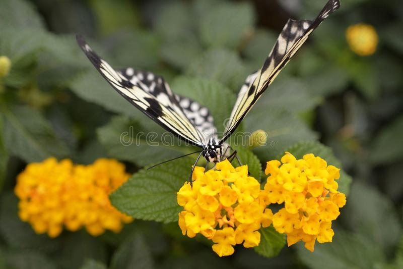 Butterfly, Moths And Butterflies, Insect, Nectar