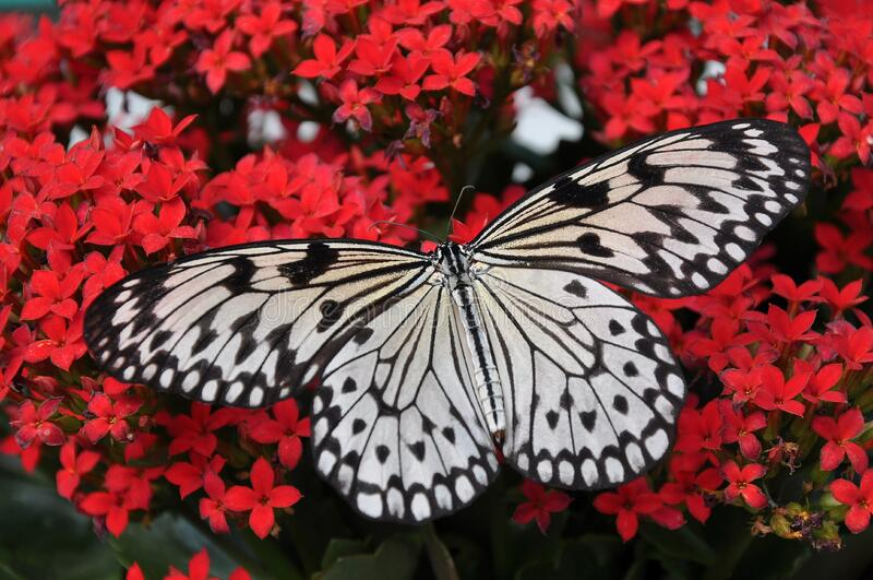 Butterfly, Moths And Butterflies, Invertebrate, Insect stock photos