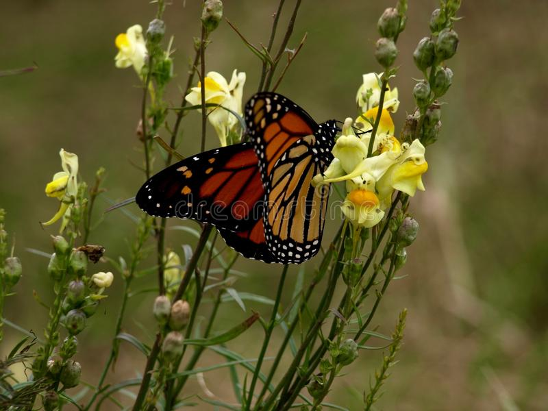 Butterfly, Moths And Butterflies, Monarch Butterfly, Insect royalty free stock image