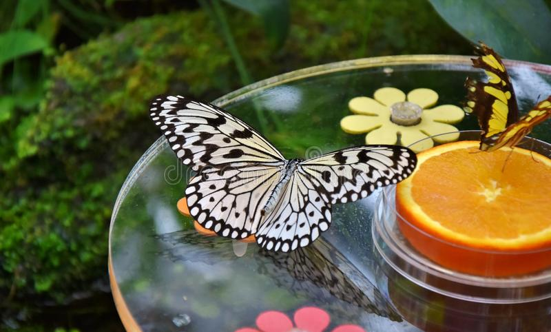Butterfly, Moths And Butterflies, Monarch Butterfly, Insect royalty free stock images