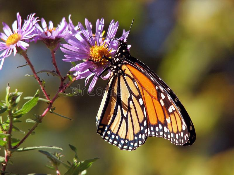 Butterfly, Moths And Butterflies, Monarch Butterfly, Insect stock photography