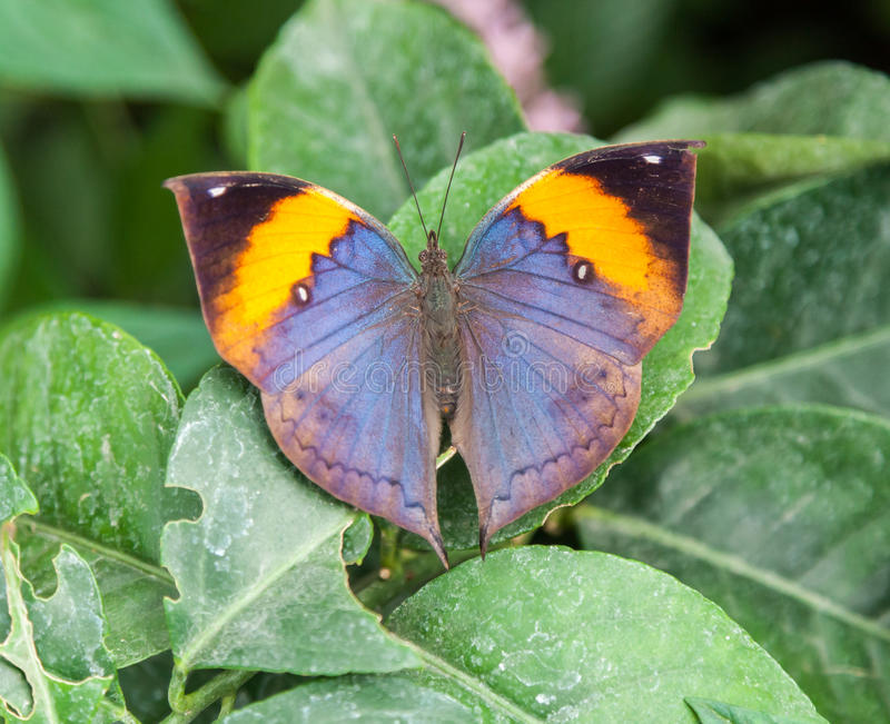 Download Butterfly Natural History Museum London Engaldn Stock Image - Image of leaf, museum: 32864721