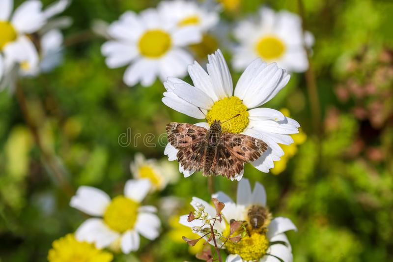 Butterfly in nature on the white daisy Carcharodus alceae Izmir / Turkey stock photo