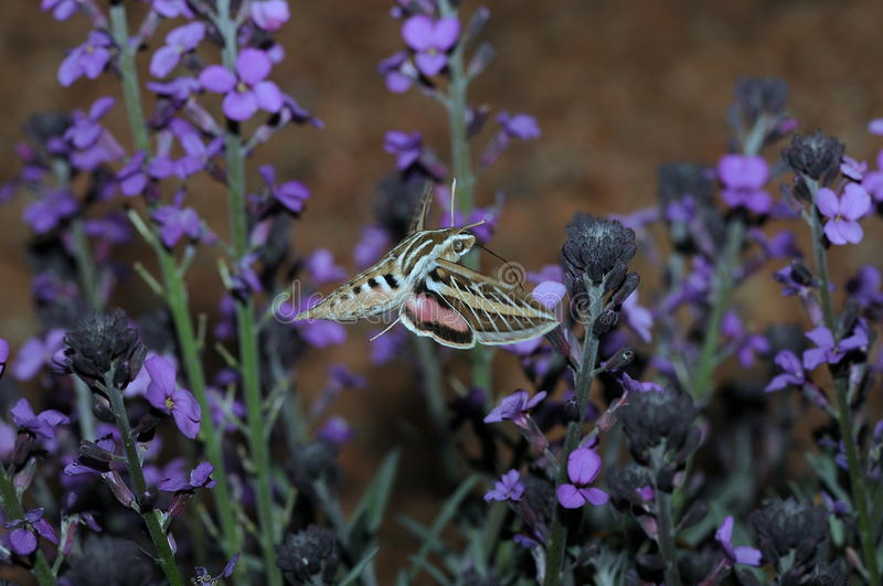Download Butterfly Near Purple Flowers Stock Image - Image: 9517801
