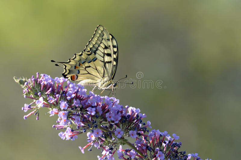 Butterfly Old swallowtail stock photo