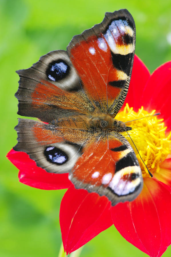 Free Butterfly On A Flower Stock Images - 18523474