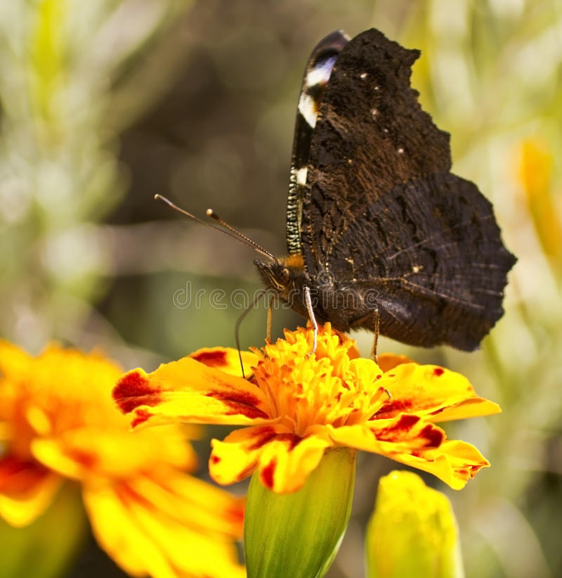 Free Butterfly On A Flower Royalty Free Stock Photos - 21825878