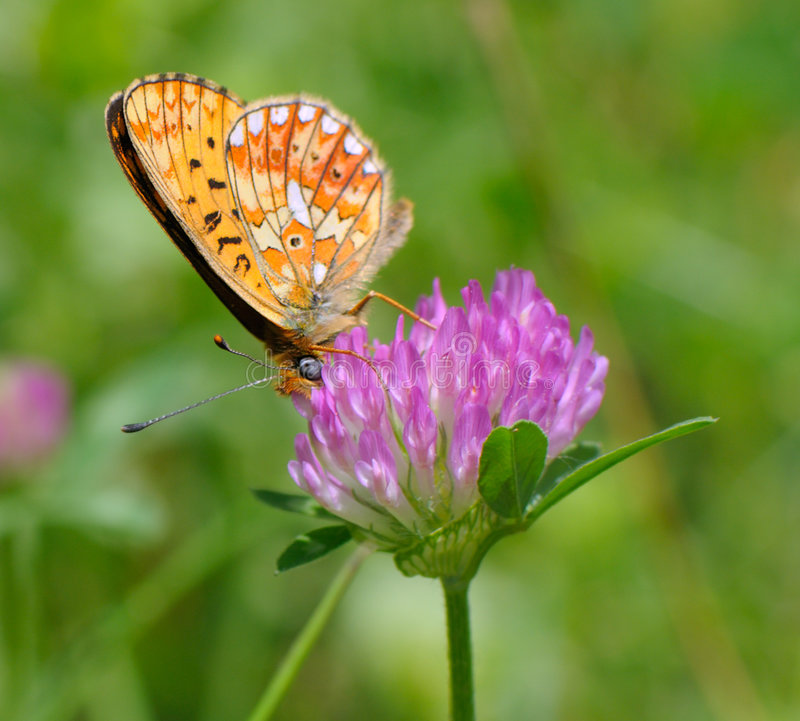 Free Butterfly On Clover Royalty Free Stock Images - 5878979